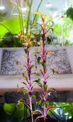 My Cordyline fruticosa 'Picolo'