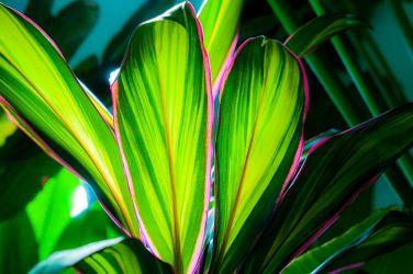 My Cordyline fruticosa 'Kiwi'