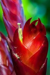Close up on Vriesea flower