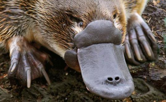platypus-head-closeup-animal-profile-web620