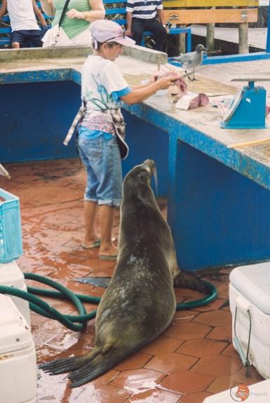 Głodny lew morski, Galapagos, fot. K. Wudniak
