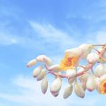 月桃是什麼?月桃茶、月桃花、月桃化妝水有何功效?你不能不知道的來自沖繩的美肌植物!