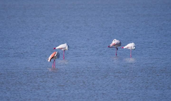 Flamingos_0564