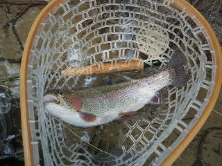 Swift River Rainbow Trout MA Fly Fishing