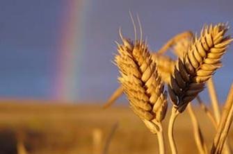 WheatRainbow