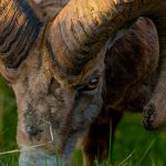 Banff_wildlife_Big_Horn_Sheep_Radium-20090515-22