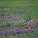 Crowsnest_Pass_deer_wildlife_20090718_1