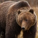 Jasper_wildlife_Grizzly_Bear-20090516-15