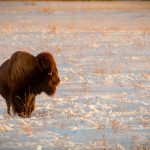 buffalo_winter_bison_-20090120-40