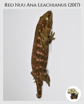(1) Red Nuu Ana Leachianus (2017)