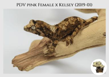 (3) PDV Pink Female x Kelsey (2019-01)