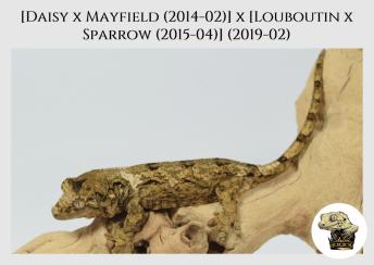(4) [Daisy x Mayfield (14-02)] x [Louboutin x Sparrow (15-04)] (2019-02)