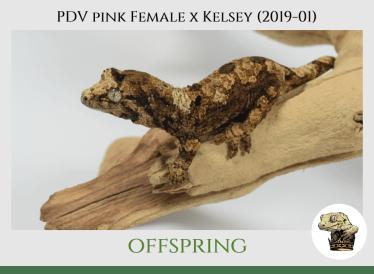 (5) PDV Pink Female Offspring
