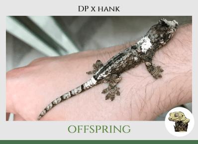 (6) DP x Hank Offspring