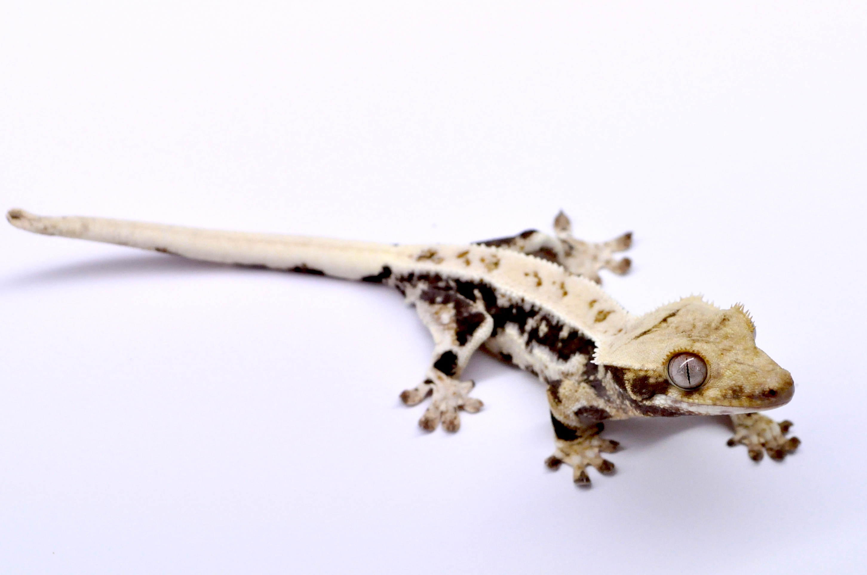 Lilly White Crested Geckos