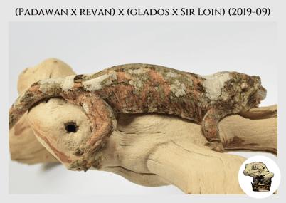 (Padawan x Revan) x (Glados x Sir Loin) (2019-09) WM (2020-02-29) (6)