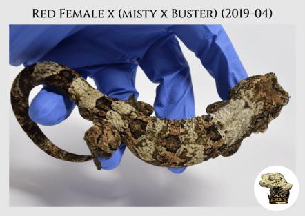 Red Female x (Misty x Buster) (19-04) WM (2020-02-29) (2)