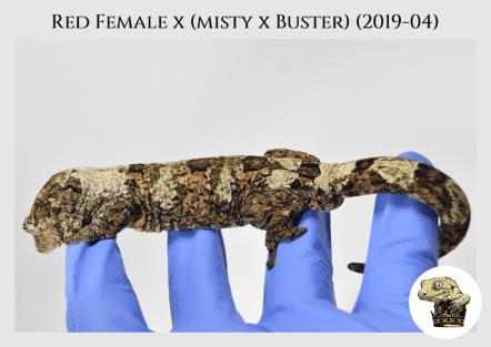 Red Female x (Misty x Buster) (19-04) WM (2020-02-29) (4)