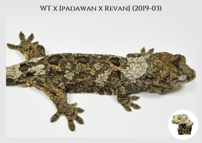 White Trash x (Padawan x Revan) (2019-03) WM (2020-02-29) (4)