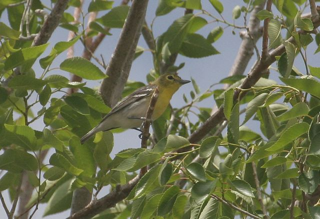 Yellow throated vireo fall - photo#44
