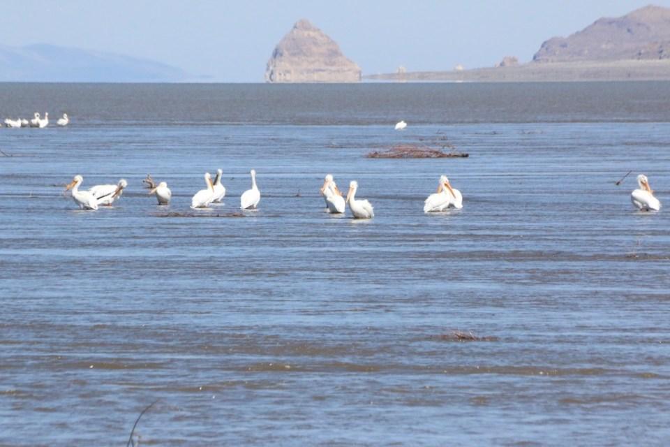 American White Pelicans hang out at the Truckee River delta at Pyramid Lake April 2017.