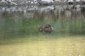 American mink Neovison vison), Idlewild Park, Reno. Photo: Kelsey McCutcheon.