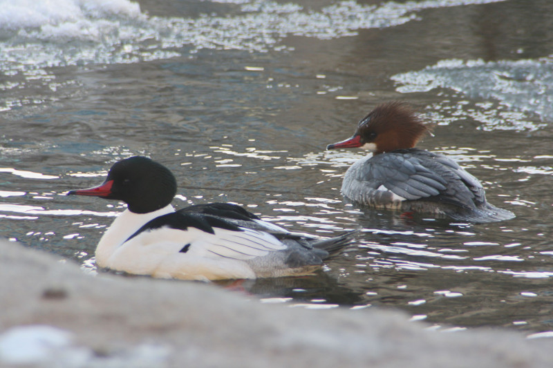Male (left) and female (right) Common mergansers swimming the Truckee River in downtown Reno, Dec 2014. Photo: K.McCutcheon.