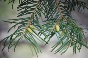 Sierra white fir: Male cones. Photo: K.McCutcheon.