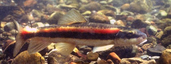 Tahoe Sucker (Catostomus tahoensis). Photo: US Forest Service, Public Domain Image.