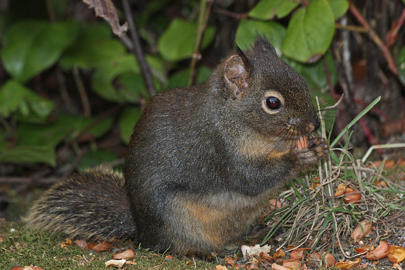 The Douglas squirrel (Tamiasciurus douglasii) is a noisy tree squirrel with a white eye-ring. Photo: Walter Siegmund, Creative Commons License.