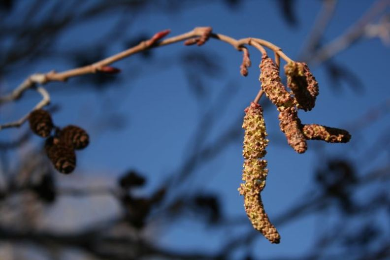 The catkins of a Thinleaf alder in Mayberry Park, Truckee River, Feb. 20, 2015.