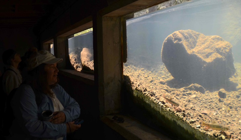 Watching fish through the underwater fish viewing chamber, Sagehen Creek Field Station. June 2014. Photo: Kaitlin Backlund.