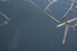 A muskrat (bottom left) swims underwater. Note its thin tail.