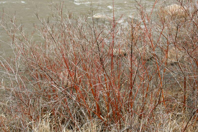 Redosier dogwood (Cornus sericea) in Dorostkar Park, Reno. Feb 2015.
