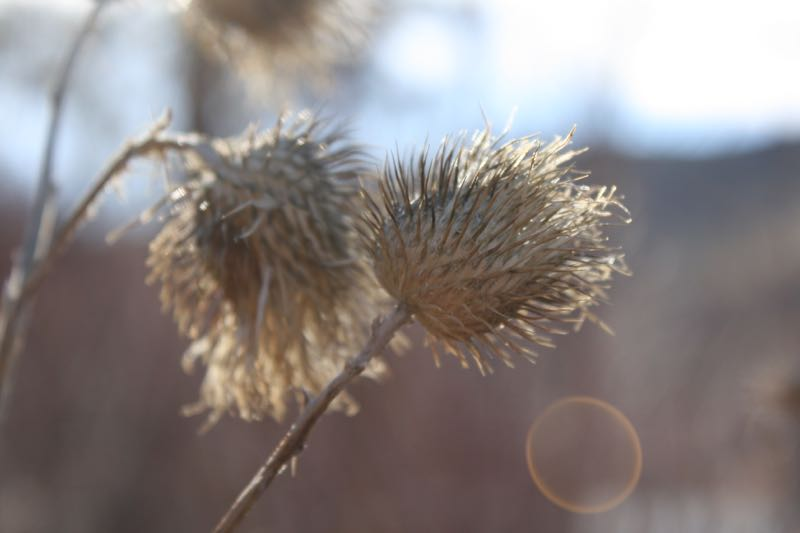 Dead thistles in Mayberry Park, Reno. Feb 20, 2015.