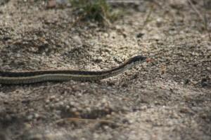 Western terrestrial garter snake (Thamnophis elegans), Dorostokar Park, Reno. Feb 2015. Photo: Kelsey McCutcheon.