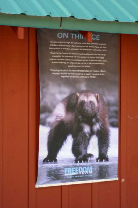 This poster is as close as we came to seeing a wolverine. In 2008, the first wolverine seen in California since 1922 was photographed on a field camera at Sagehen Creek Field Station.