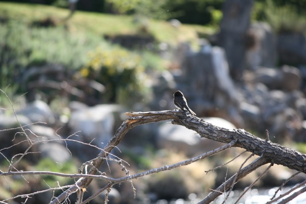 Black Phoebe (Sayornis nigricans), Idlewild Park, Reno. Mar 26, 2015.