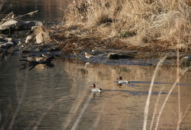 Green-winged teal (Anas crecca) at Lockwood Park, Mar. 7, 2015.