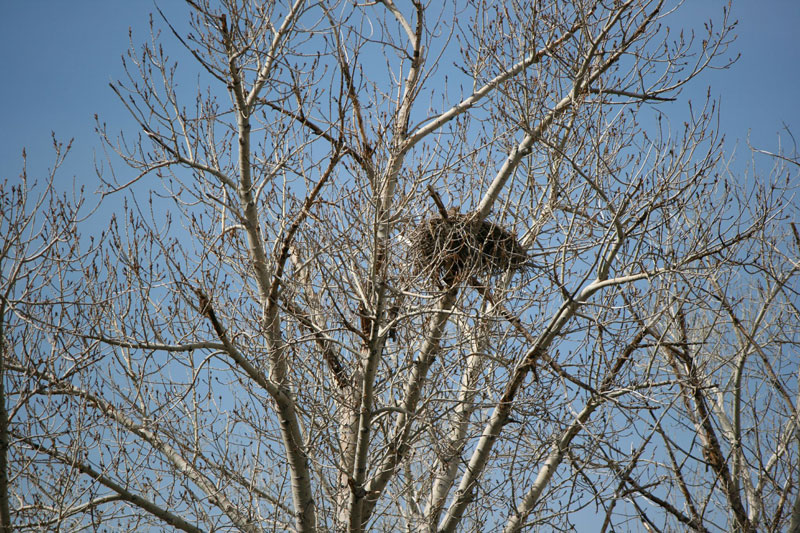A Great-horned owl looks down from its nest. Mayberry Park, Mar 15, 2015.