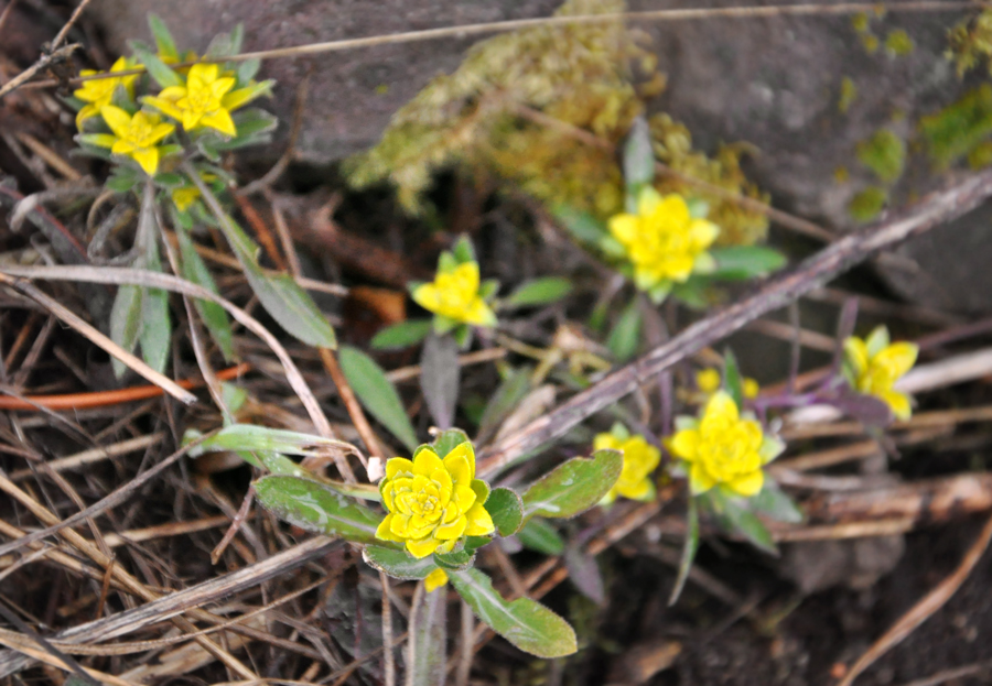 Rust fungus, Puccinia monoica, on plants in the Truckee District on Mar. 17, 2015. Photo: Joanna Rutkowski.