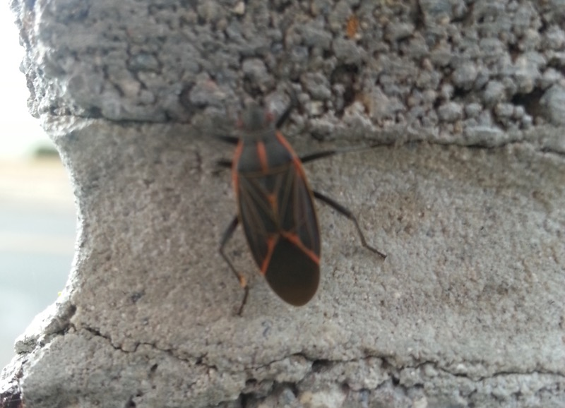 Western Boxelder Bug (Boisea rubrolineata), Riverwalk, Reno. April 22, 2015. Photo: Dylan Kuhn.