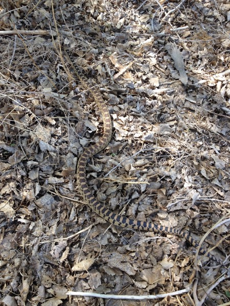 Gopher snake, McCarran Ranch. April 21, 2015. Photo: Jennifer Robinson.