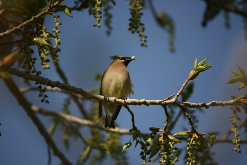 Cedar Waxwing, Mayberry Park. April 19, 2015.