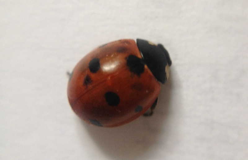 I think this is the seven-spotted ladybug, Coccinella septempunctata.