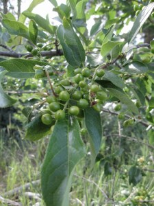 Chokecherry (Prunus virginiana) with unripe berries in Verdi, NV. June 2009.