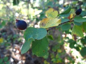 Serviceberry with fruit, September.