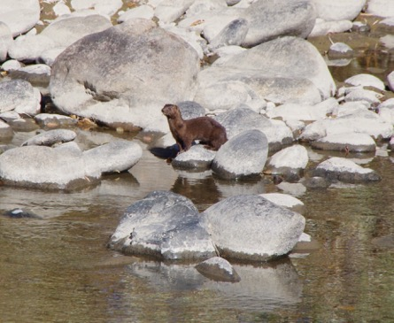 American mink, Truckee River. Photo: Ron Marko.
