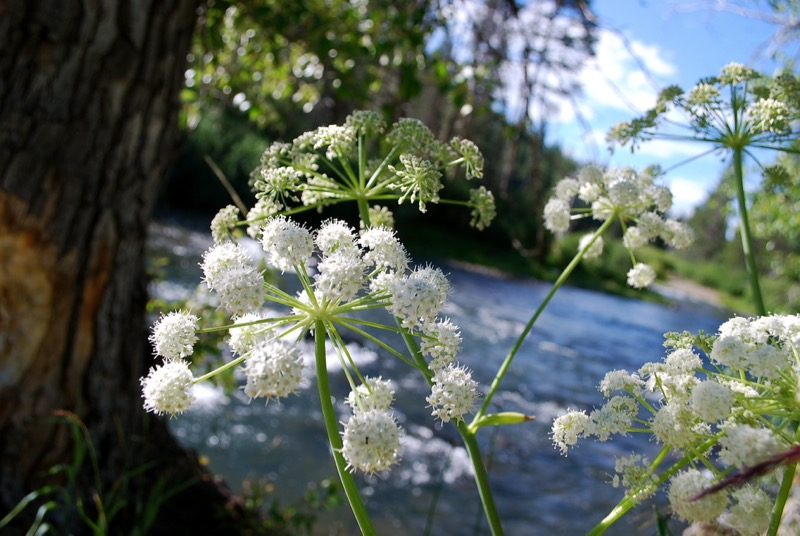 Brewer's angelica (Angelica breweri) along the Truckee River near Truckee, CA. Aug 2011. Photo: K. McCutcheon.