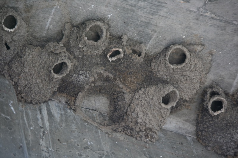 Cliff Swallow nests, Crystal Peak Park, Verdi. July 28, 2015. Photo: K. Fitzgerald.
